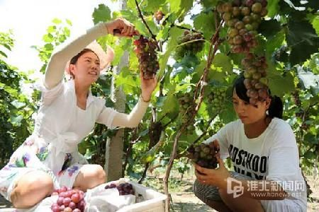 游客在采摘葡萄。-摄影记者梅月