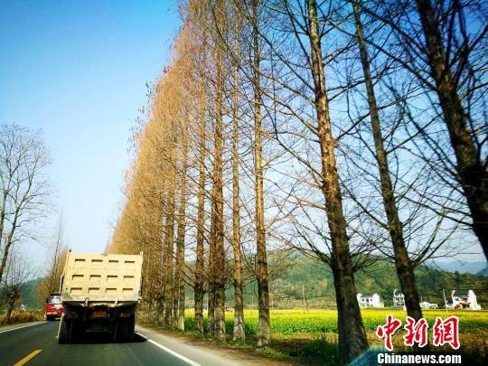"""黄山官方回应""""最美公路""""行道树被砍:九成杉木将留存 张强 摄"""