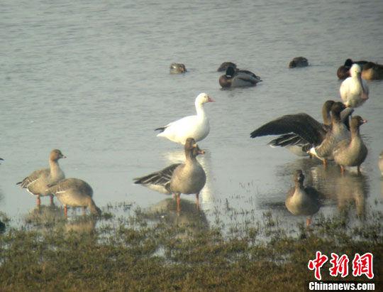 资料图:安徽池州升金湖保护区出现珍稀候鸟雪雁。中新社发 尹莉 摄