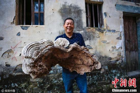 """2017年3月11日,在安徽黄山市歙县石潭村一村民家中拍到的一棵巨大""""灵芝""""。"""