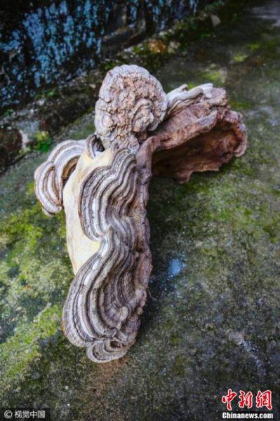 """这棵""""灵芝""""是村民吴某前不久在深山中偶然获得的,现已基本风干。一个人双手合抱,根本抱不过来。"""
