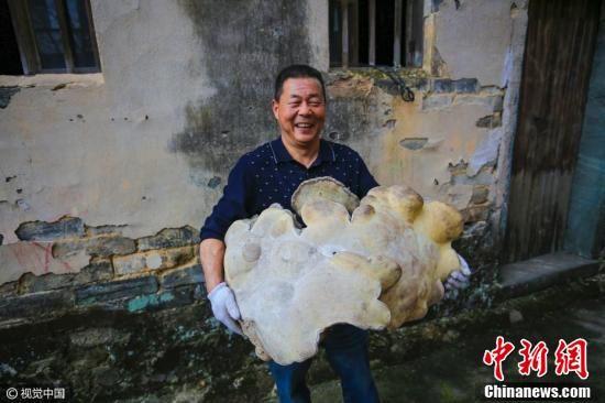 """村里的老人都说,虽然黄山盛产灵芝,但这么大的野生""""灵芝""""却没有见过。 (盛文鹏 摄 图片来源:视觉中国)"""