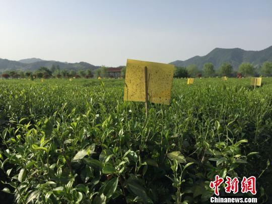 安徽金寨县一茶园。 吴兰 摄