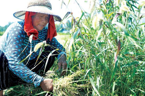 7月13日,在界首市泉阳镇黄庄村,村民在高温下为庄稼除草。本报记者徐�F昊摄