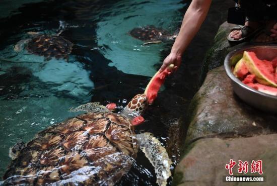 """7月25日,饲养员正在喂海龟吃西瓜。当日,安徽省合肥市出现持续高温天气,合肥海洋世界的饲养员为海洋动物们准备西瓜、果冻、冰块等""""高温福利"""",帮助海洋动物们清凉度夏。 中新社记者 韩苏原 摄"""