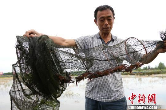 养虾户打捞龙虾