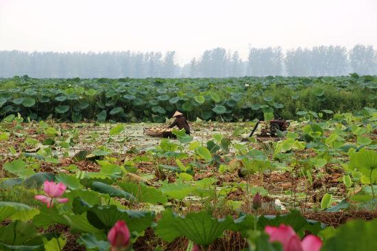 城西湖万亩莲藕种植基地。洪永亮