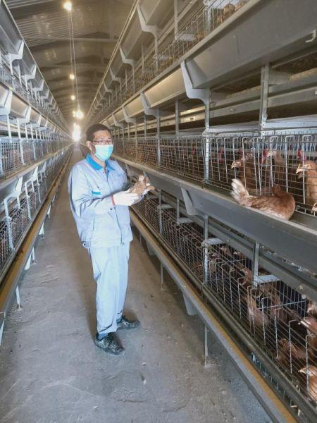 检查鸡的健康状况。