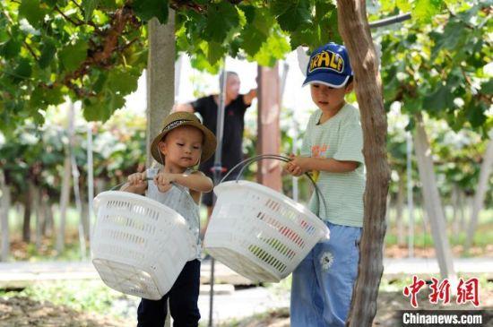 图为在安徽省合肥市包河区大圩镇鲜来鲜得葡萄采摘园,小朋友们体验采摘乐趣。 张娅子 摄.jpg