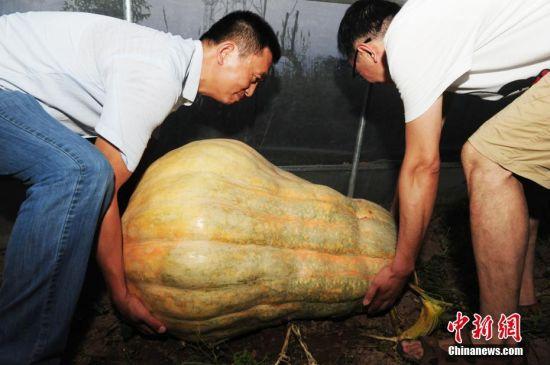 安徽阜阳巨型南瓜引市民关注
