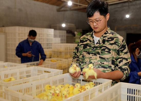 """安徽全椒:新模式养鹅孵苗""""反季节""""助农增收"""